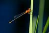 Eastern Forktail Damselfly (Ischnura verticalis)