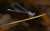 Variable Dancer Damselfly (var. Black Dancer (Argia fumipennis atra)