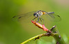Female Blue Dasher Dragonfly