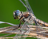 Immature Great Blue Skimmer Dragonfly