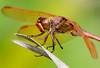 Male Golden-winged Skimmer
