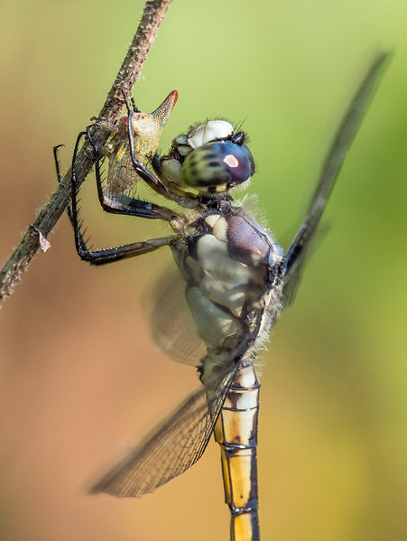 Immature Male Great Blue Skimmer with Oak Treehopper