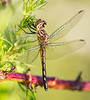 Female Seaside Dragonlet (Erythrodiplax berenice)