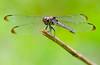 Bar-winged Skimmer (Libellula axilena) (female)