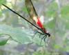 American Rubyspot Damselfly (Hetaerina americana)