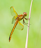 Female Needham's Skimmer Dragonfly
