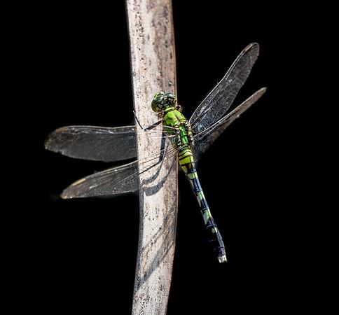 Female Eastern Pondhawk Dragonfly