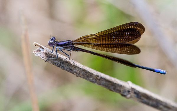 Variable Dancer Damselfly (Argia fumipennis)