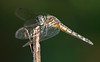 Blue Dasher Dragonfly (either immature or female)