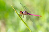 Roseate Skimmer (first one I've seen this year)