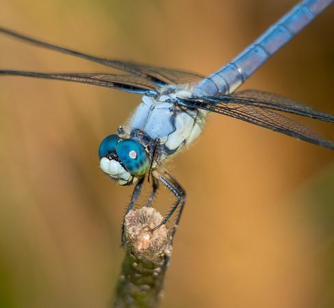 Great Blue Skimmer (male) (Libellula vibrans)