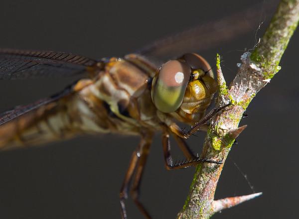 Immature Roseate Skimmer Dragonfly (Orthemis ferruginea)