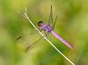 Male Roseate Skimmer (Orthemis ferruginea)