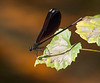 Damselfly on Leaf