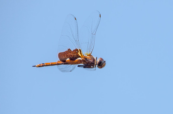 Red Mantled Saddlebags Dragonfly in Flight