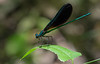 Female Ebony Jewellwing Damselfly
