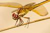 Needham's Skimmer Dragonfly (Libelllula needhami)