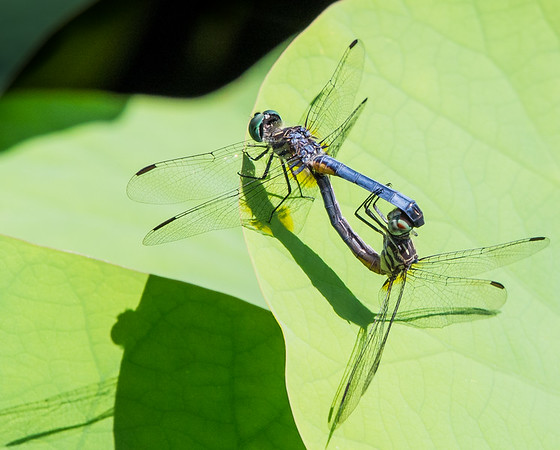 A Mating Pair of Blue Dashers (Pachydiplax longipennis)