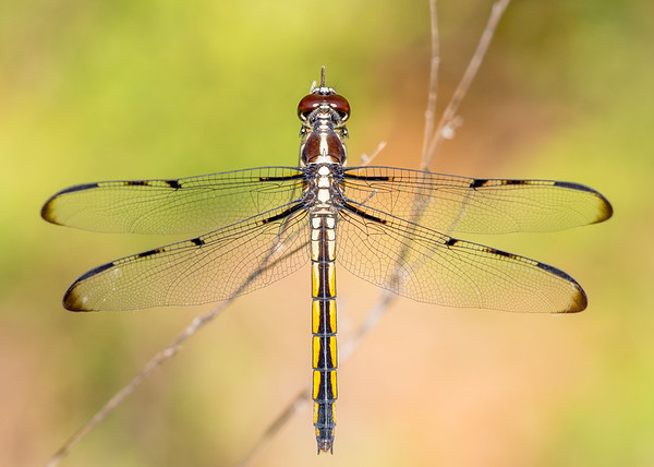 Female Bar-winged Skimmer