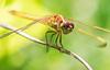 Immature Needham's Skimmer Dragonfly (Libellula needhami)
