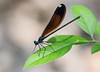 Ebony Jewelwing Damselfly (female)