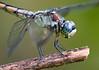 Great Blue Skimmer (Libellula vibrans) (female)