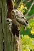 Great Horned Owlets on Nest. Charlston Falls, OH