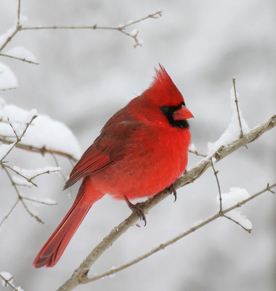 Winter Cardinal. Glen Helen, OH