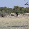 Wildebeest on the left and 2 Tsessebe on the right: fast antelope in the world