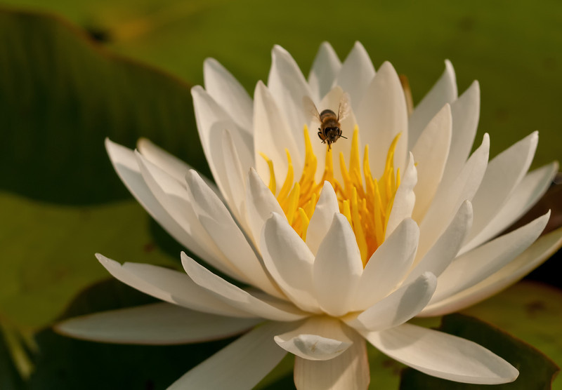 Fragrant Water Lily With Honey Bee