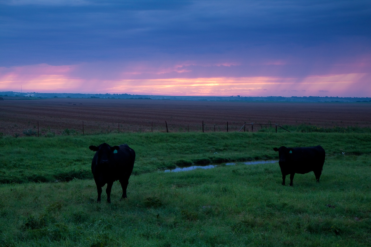 These black cows, completely devoid of any color, had no appreciation for the colorful show behind them.