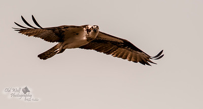 Osprey, female, Chesapeake Bay, MD