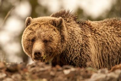 Grizzly Bear, Ice Box Canyon, Yellowstone
