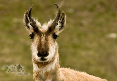 Prong Horn Antelope Buck, Yellowstone