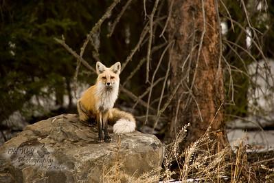 Red Fox, NE Yellowstone