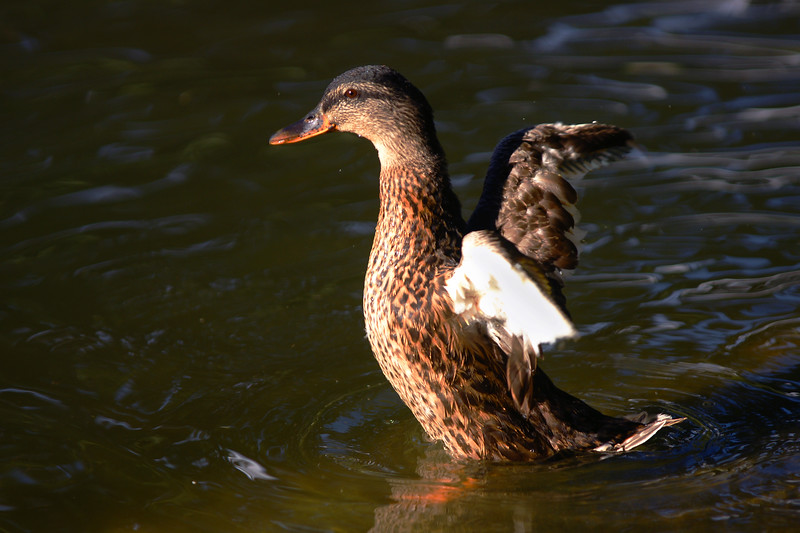 Mallard female in the duck pond on Montana State campus.  Bozeman, MT<br /> <br /> © Kirk Sagers