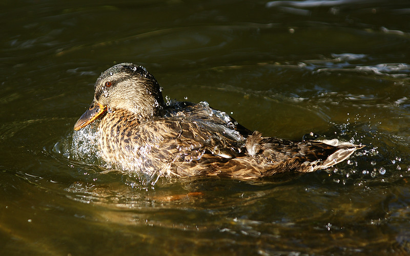 Mallard photographed at the duck pond on the Montana State campus.  Bozeman, MT<br /> <br /> © Kirk Sagers