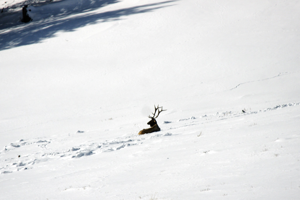 A lone bull elk, and lots of snow, Lamar Valley, Yellowstone NP, WY<br /> <br /> © Kirk Sagers