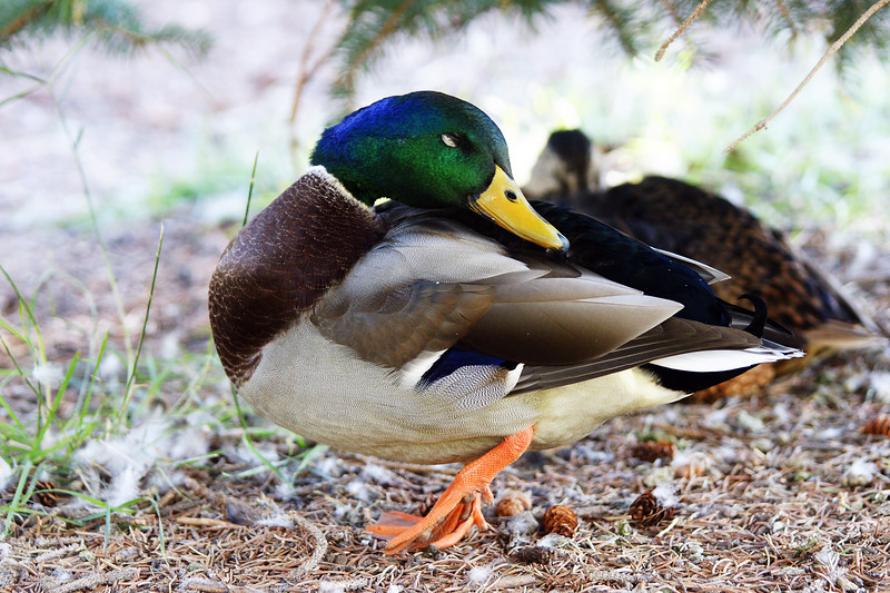 Mallard male near the Montana State duck pond.  Bozeman, MT<br /> <br /> © Kirk Sagers