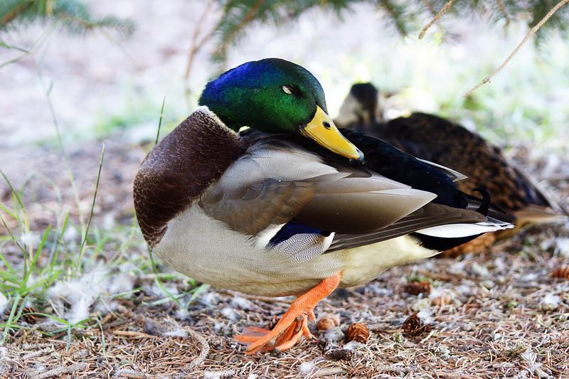 Mallard male near the Montana State duck pond.  Bozeman, MT<br /> <br /> © Kirk Sagers