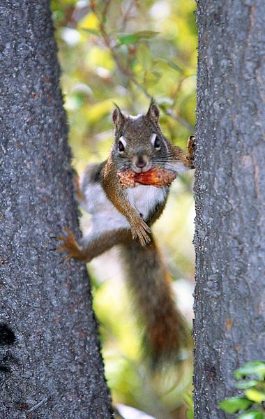 Beware the Ninja Squirrel!<br /> <br /> © Kirk Sagers