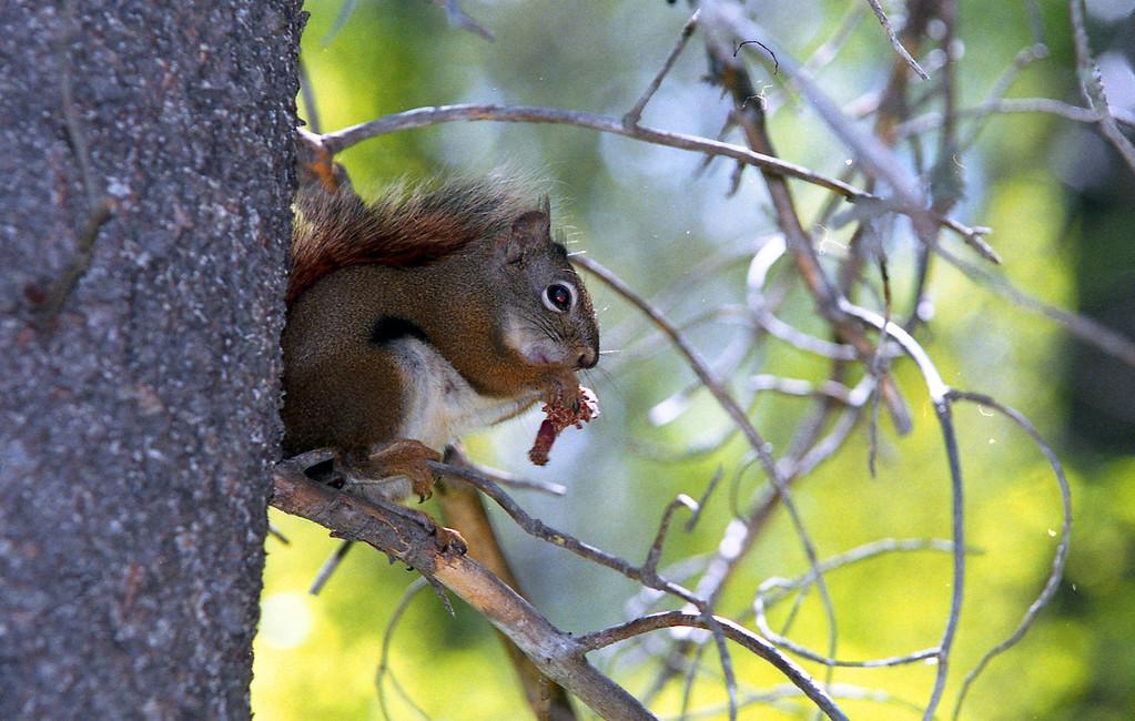Pine Squirrel<br /> <br /> © Kirk Sagers