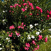 "Oleanders : These are high resolution 300 dpi - suitable for printing.  To save a photo to your computer,  right click on it so that it appears in the main view window.  you will see a pop up on the right side of the screen that offers photo sizes.  click on ORIGINAL size.  after it loads, you may not be able to view the entire photo - that's ok.  right click on the photo, and choose ""save image as"".   you can save it to your desktop of a special folder you've created. ~ Dara"