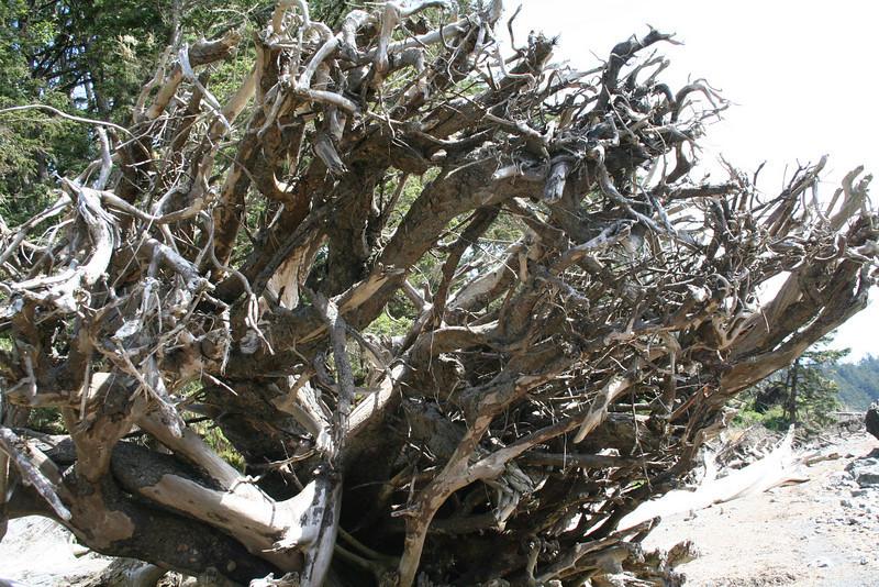 Huge trees, huge roots