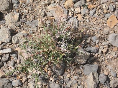 Oman: spiky plant near Al Ayn tombs