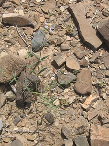 Oman: Plant amongst the rocks