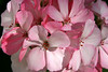 <b>Geranium - Pink Variegated</b>  (March 2, 2008)