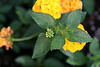 <b>New Gold Lantana</b> <i>(Lantana x hybrida'New Gold')</i>  (March 2, 2008)