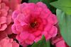 <b>Zinnia 'Magellan Cherry'</b> <i>(Zinnia elegans)</i>   (March 2, 2008)