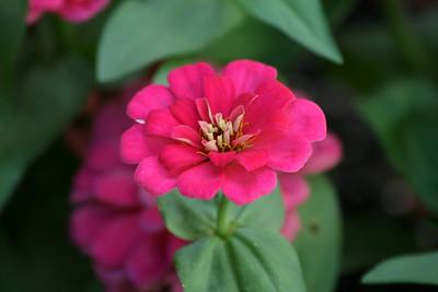 Zinnia 'Magellan Cherry'